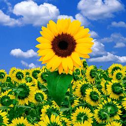 向日葵壁纸 攝影 App LOGO-硬是要APP