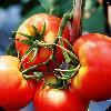 生吃这六种蔬菜可极速瘦身 生活 App LOGO-硬是要APP