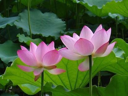 莲花动态壁纸