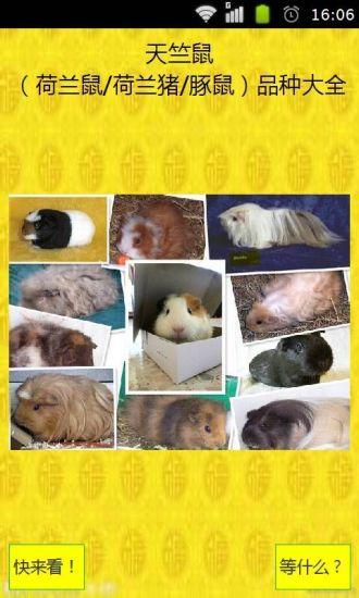 天竺鼠荷兰鼠荷兰猪豚鼠品种大全