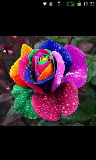 玫瑰花手机壁纸