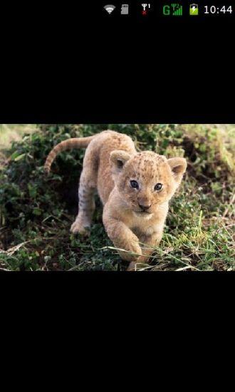 狮子锁屏壁纸
