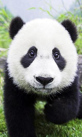 Panda Interactive LWP