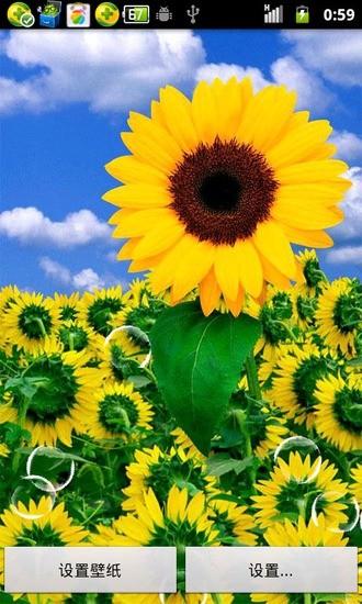 蓝天下的向日葵动态壁纸