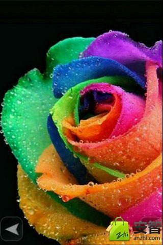 经典玫瑰壁纸