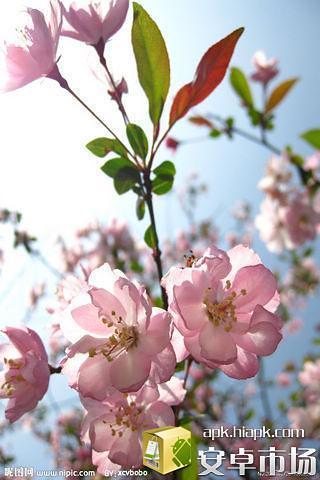 桃花动态壁纸